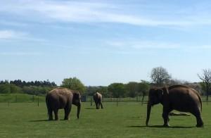 Zoological Society of London elephant